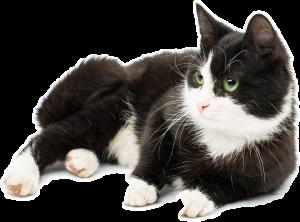 chat noir et blanc pensif