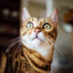 Chat tigré étonné