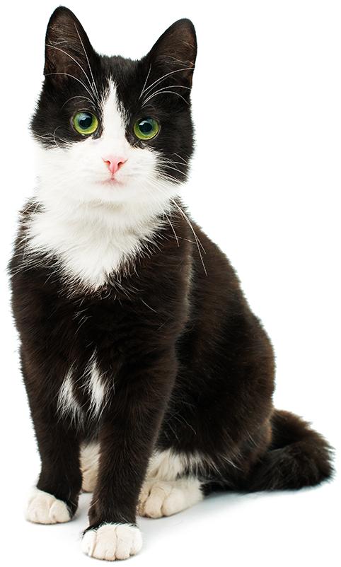 Chat noir & blanc assis