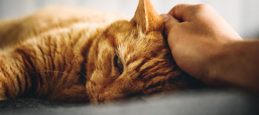 Main qui caresse un chat roux