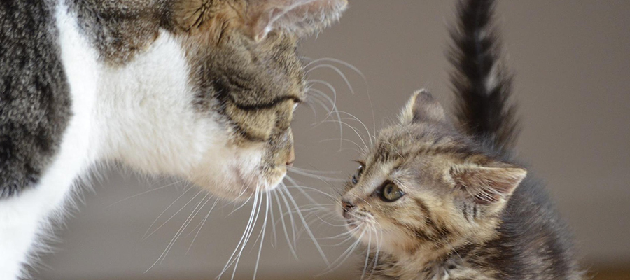 Chat adulte et chaton