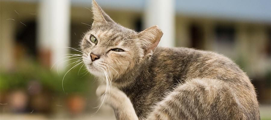 Chat tigré qui se gratte