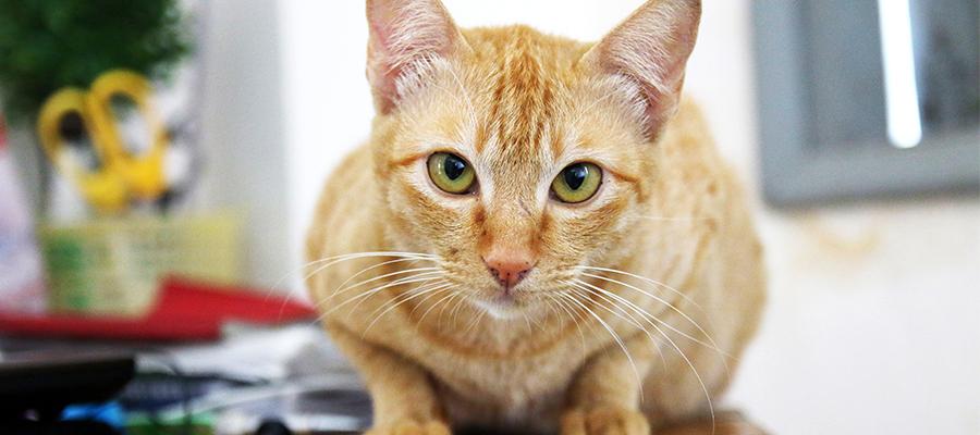 Chat roux aux yeux verts sur un bureau