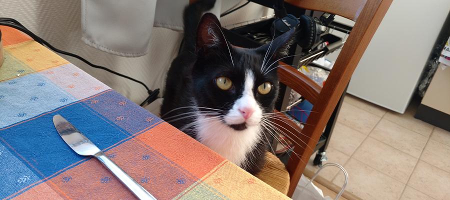 Chat noir et blanc à table