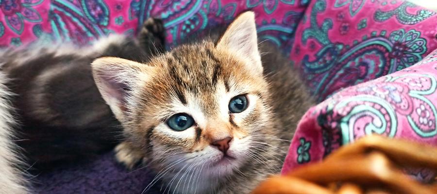 Chaton aux yeux bleus
