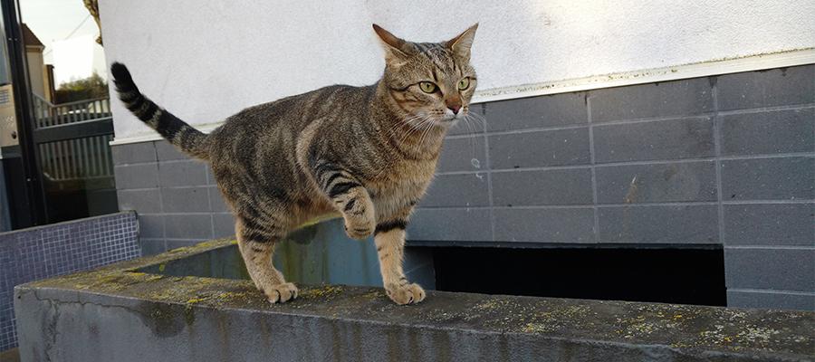 Chat tigré qui lève la patte