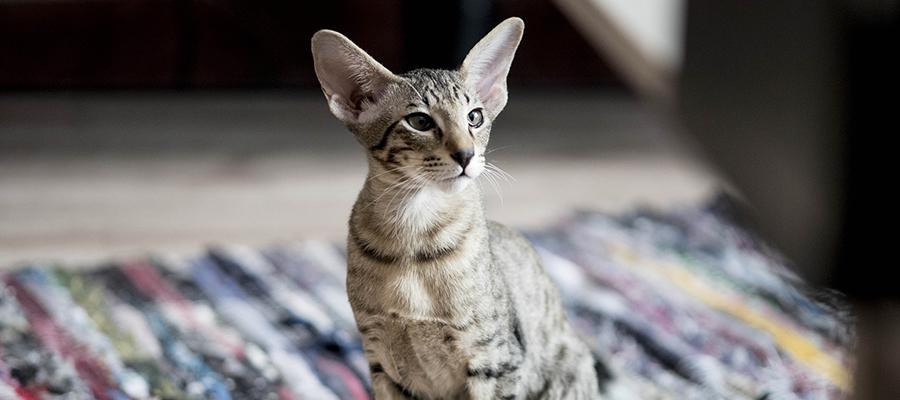 Un chat Oriental à l'affût