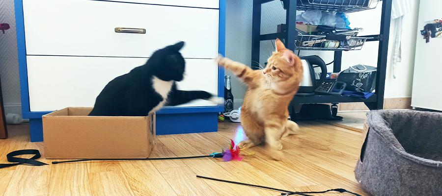 Deux chats qui se battent