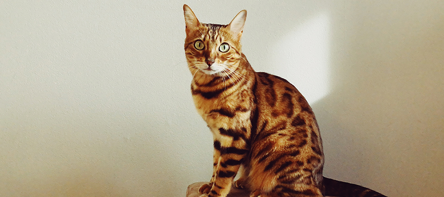 Un Bengal qui observe sur un meuble