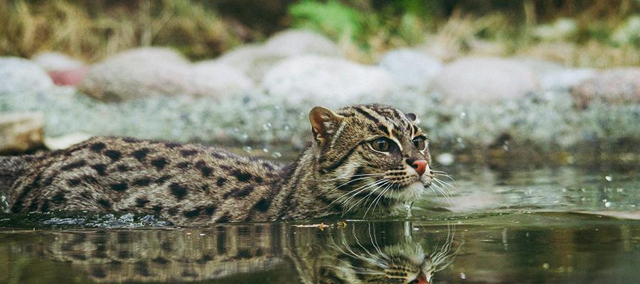 Un chat sauvage entrain de chasser dans une rivière