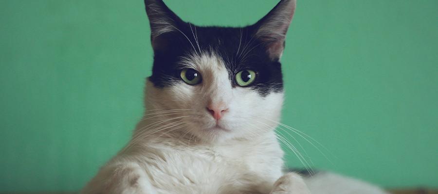 Chat blanc et noir sur fond vert