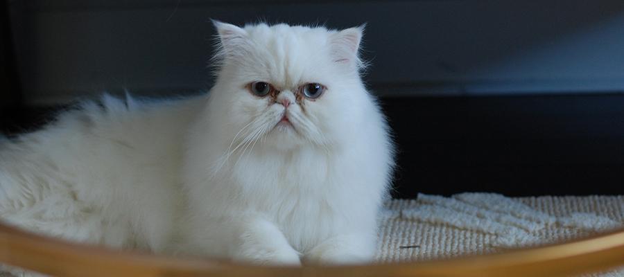 Un chat Persan sur son tapis