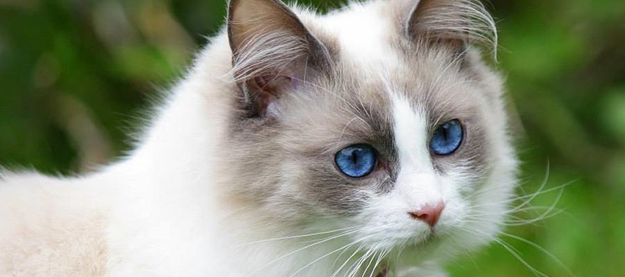 Un Ragdoll avec de beaux yeux qui observe