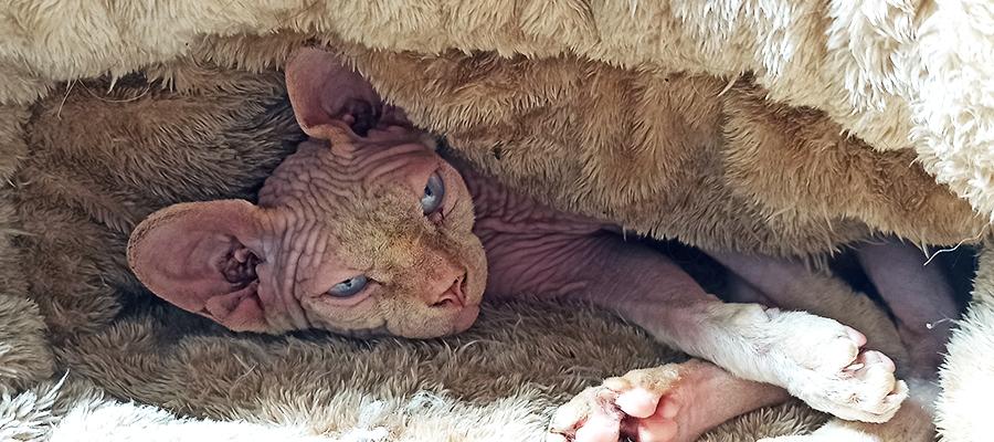 Un Sphynx couché dans un duvet