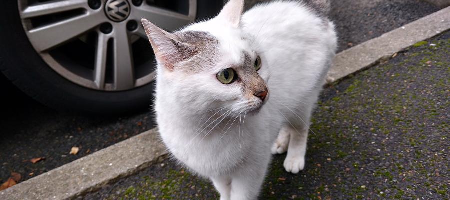 Chat blanc dans la rue