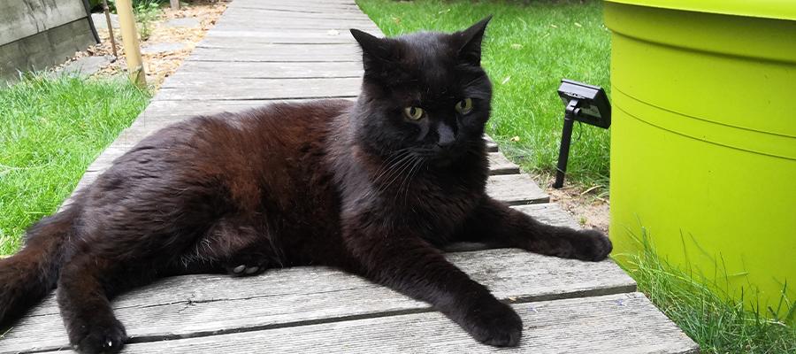 Chat noir dans jardin