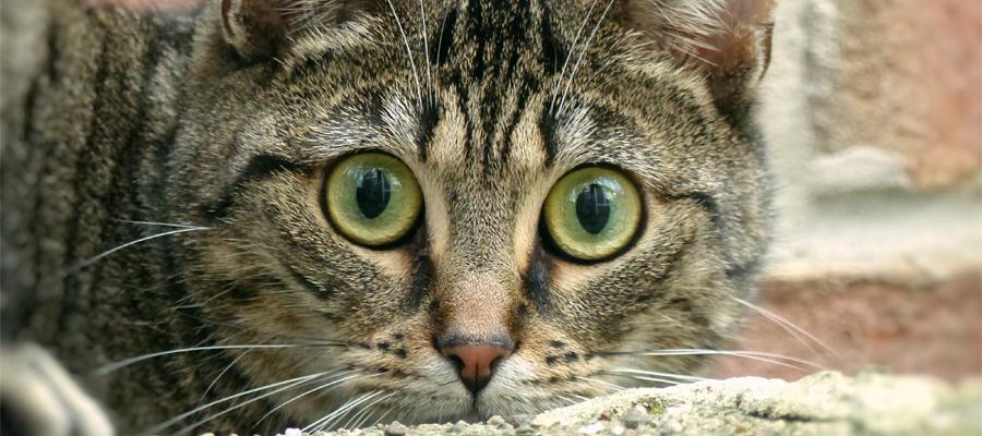 Chat tigré avec les pupilles dilatées