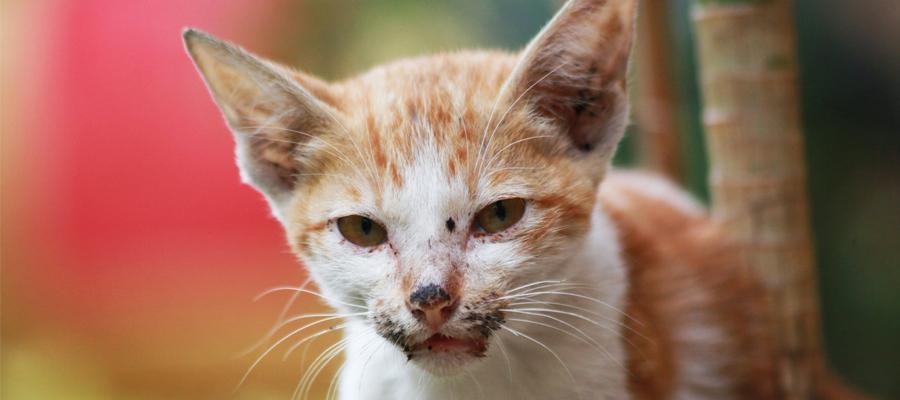 Chaton atteint de maladie de peau ou de coryza