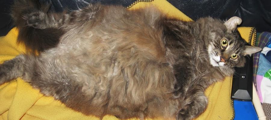 Chat obèse à poils longs