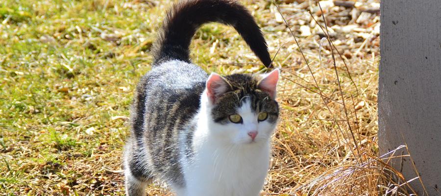Chat tigré et blanc avec la queue levée