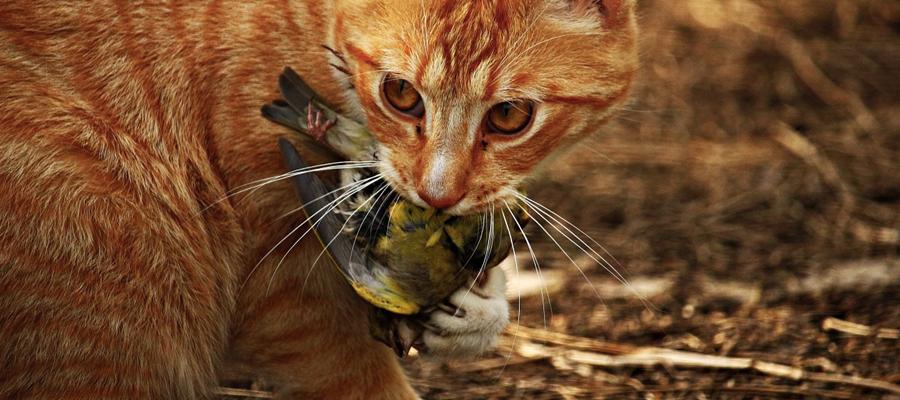 Chat roux avec une mésange dans la gueule