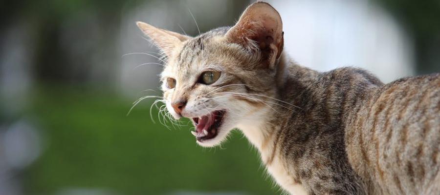 Chat tigré qui miaule