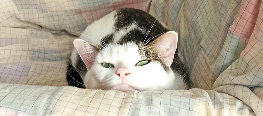 Chat tigré et blanc avec la tête posée sur un accoudoir