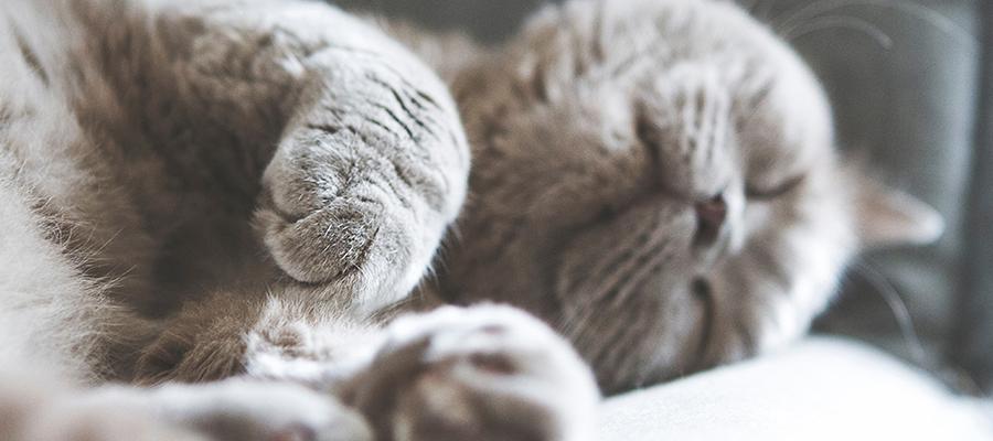 Chat gris endormi