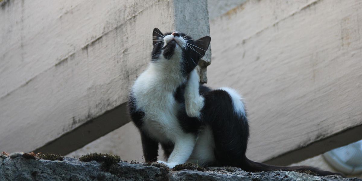 Chat noir et blanc qui se gratte