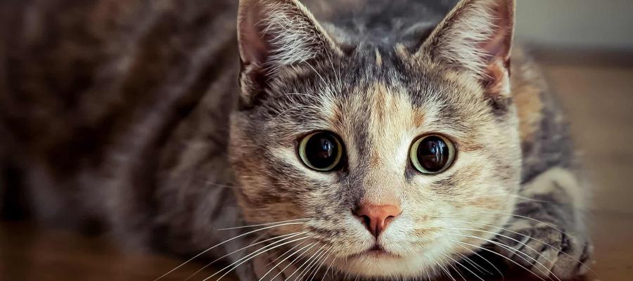 Chatte écaille de tortue aux pupilles dilatées
