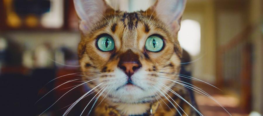 Chat léopard de face