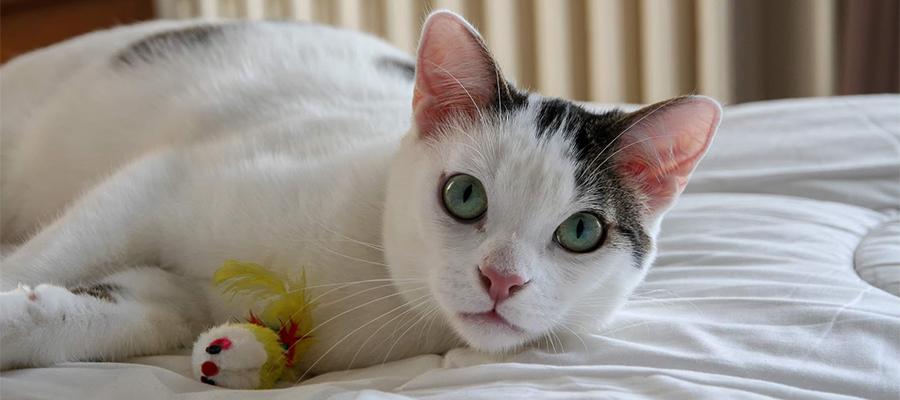 Chat blanc avec un jouet