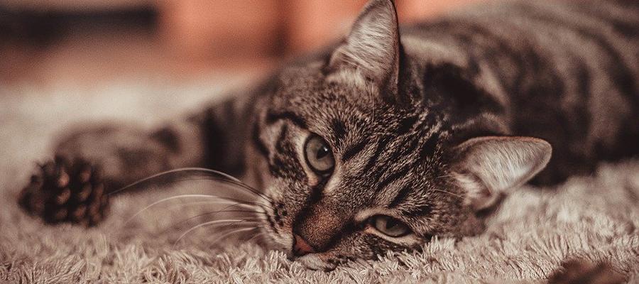 Chat allongé sur un tapis
