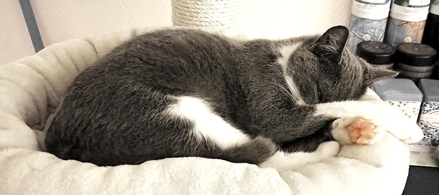 Chat gris et blanc qui dort