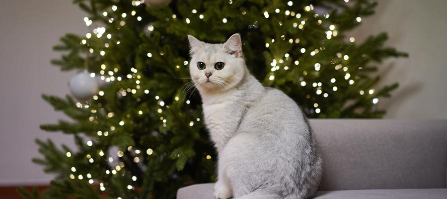 Chat blanc à côté d'un sapin