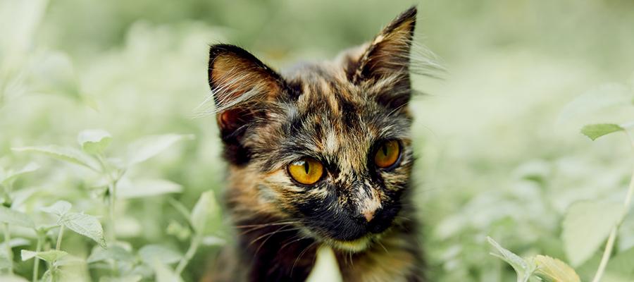 Un chat de gouttière écaille de tortue dans l'herbe