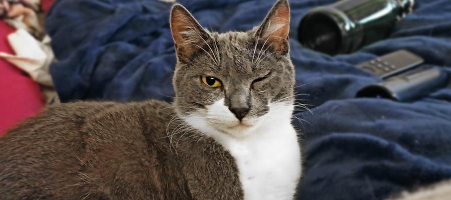 Chat gris et blanc clignant d'un oeil