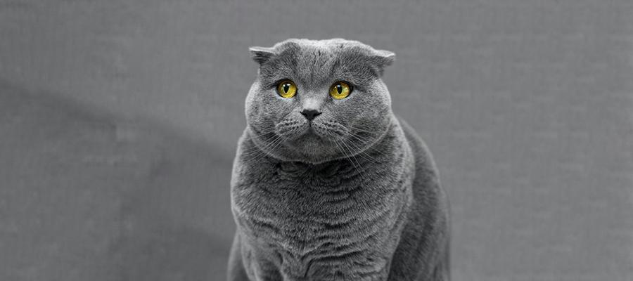 Chat gris apeuré