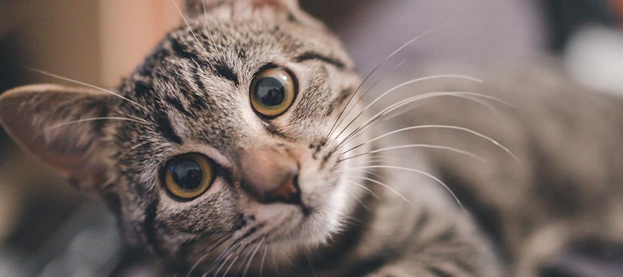 Chat tigré aux grands yeux